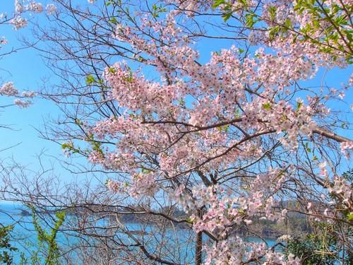 sakurasea2.jpg